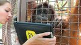 Orangutans go ape over iPads