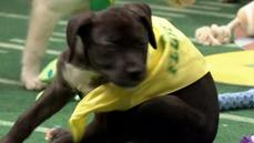 The Puppy Bowl celebrates 11 years of fluffy football fun