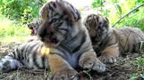 Rare Siberian tiger triplets born in Crimea