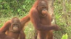 Indonesian fires affecting Borneo orangutans