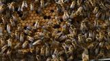 Caffeine exposure leaves bees buzzing