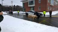 Pig escapes from NH farm, shows up at the polls