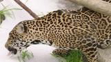 Jaguars enjoy snow day at zoo