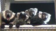 Baby lemurs debut at Philadelphia Zoo