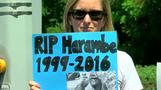 Zoo director defends decision to shoot gorilla