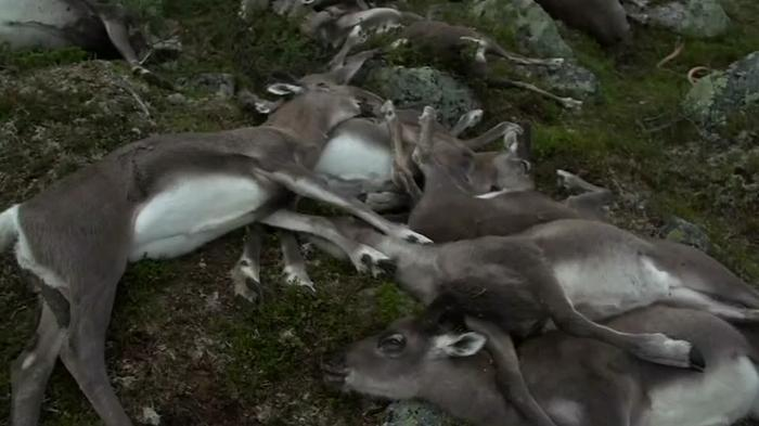 Lightning kills 300 reindeer in Norway