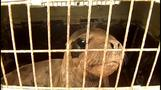 Peru releases orphaned sea lions back into the wild