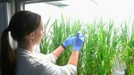 Wheat grain size boosted by synthetic chemical
