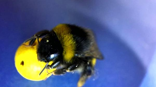 Soccer-playing bumblebees get goal-scoring buzz