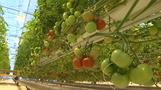Coldest city can now grow tomatoes all year round