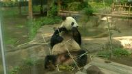 Hopes rise for safe birth by Japan's probably pregnant panda
