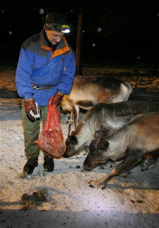 Nils Torbjorn Nutti, a Sami reindeer herder, feeds his herd in Jukkasjarvi, Sweden December 24, 2006. The indigenous Sami people in northern Sweden took a step towards self-determination on January 1 when the government gave them full control of reindeer herding for the first time. Picture taken December 24, 2006. REUTERS/Bob Strong