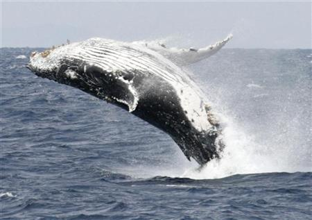 A humpback whale breaches the surface off the southern Japanese island of Okinawa, February 13, 2007. The U.S. Navy on Tuesday said it had asserted the ''state secrets'' privilege in a lawsuit by environmental groups, a move to keep the military from being forced to disclose information about the use of sonar believed to injure whales and other animals. REUTERS/Issei Kato