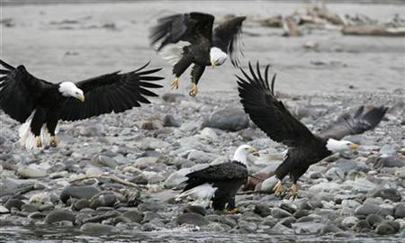 Bald eagles gather to feed on salmon along the shores of the Squamish River in Brackendale, north of Vancouver, British Columbia in this December 28, 2006 file photo. A Bush administration plan to change rules of the Endangered Species Act protecting American wildlife drew pointed questions on Wednesday from five U.S. senators, who called the proposed changes ''troubling.'' REUTERS/Andy ClarkREUTERS/Andy Clark