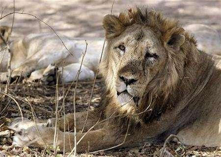 An Asiatic lion rests in Gir forest, about 355 km (221 miles) from the western Indian city of Ahmedabad April 14, 2007. An Indian state housing the world's only natural habitat for the rare Asiatic lion is refusing to relocate the big cats despite calls from conservationists who say it is the only way to save the species. REUTERS/Amit Dave