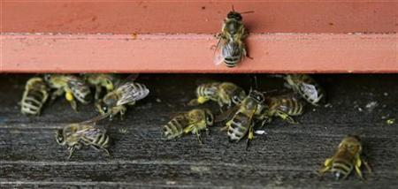 Honey bees gather at the entrance of a beehive in a file photo. A passenger plane was forced to land after flying into a swarm of British bees Thursday. REUTERS/Michaela Rehle