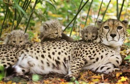 Cheetahs are seen in this October 31, 200 file photo. For female cheetahs in the Serengeti, the call of the wild is just too hard to resist as new research shows nearly half of their litters are made up of cubs with different fathers. REUTERS/Christian Charisius