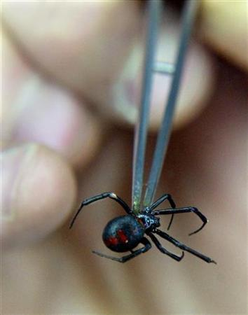 A Chilean scientist shows a black-widow spider at his laboratory in this file photo. Scientists have discovered a potentially marketable contraceptive in the venom of Chile's black widow spider, whose bite is fatal to many but can also cause prolonged, painful and involuntary erections in men. REUTERS/Carlos Barria CB
