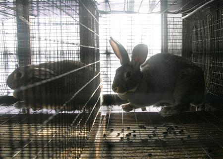 A cloned rabbit sits in its cage at a laboratory outside Moscow, February 8, 2005. Making human-animal embryos for scientific experiments should be allowed because of the benefits to science and medicine, British experts said in a report released for Sunday. REUTERS/Viktor Korotayev