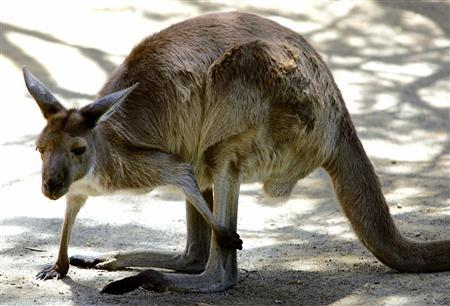 An Australian grey kangaroo scratches its leg at Sydney's Taronga Zoo December 6, 2005 file photo. The Supreme Court of California Monday barred athletic shoe maker Adidas from selling shoes made from kangaroo leather in California, reversing a lower court's decision. REUTERS/David Gray