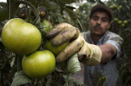 A worker picks tomatoes in a greenhouse in Almeria, southern Spain, in this March 7, 2007 file photo. Flying certain foods around the world may be less environmentally harmful than buying locally, said Terry Leahy, Chief Executive of the world's third biggest retailer Tesco, announcing new research funding. REUTERS/Francisco Bonilla
