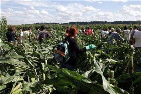 Anti-GMO activists destroy genetically-modified corn in a field in Miradou near Toulouse, France August 19, 2006. France risks losing its seat among top food producers if it rejects genetically modified crops altogether in an upcoming law on biotech organisms, French farmers and producers said on Wednesday. REUTERS/Georges Bartoli