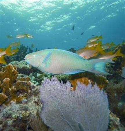 An adult male parrotfish is seen in this undated handout photo. The delicate balance of the Caribbean's coral reefs is in jeopardy as more parrotfish end up on dinner plates, international scientists said on Wednesday. REUTERS/ University of Exeter