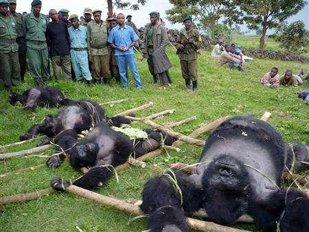 Officials of Virunga National Park in the Democratic Republic of Congo watch over the bodies of four mountain gorillas that were killed in summer of 2007 in this undated handout image. REUTERS/IGCP/Altor/Handout