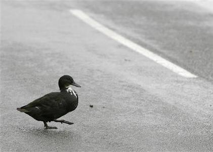 A duck crosses the road close to the scene after avian flu was confirmed in turkeys on Redgrave Park Farm in Diss, Suffolk, November 13, 2007. REUTERS/Darren Staples