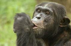 <p>Lors d'une expérience menée par des chercheurs de l'université de Kyoto, de jeunes chimpanzés ont battu des étudiants lors d'un test de mémoire immédiate. /Photo prise le 17 août 2007/REUTERS/Pawan Kumar</p>