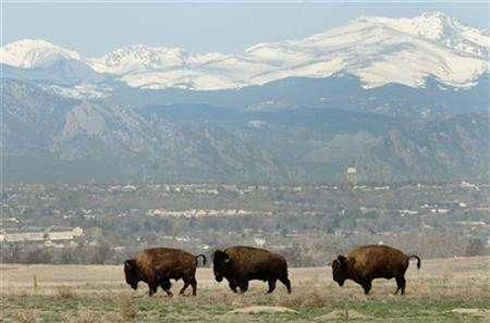 Wild bison bulls inspect the range near Commerce City, Colorado, March 17, 2007. REUTERS/Rick Wilking