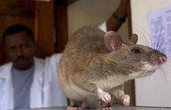 <p>Immagine d'archivio di un ratto. REUTERS/Sala Lewis</p>