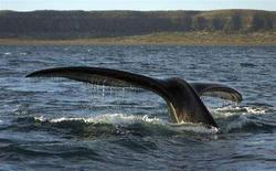 <p>La coda di una balena emerge dalle acque. REUTERS/Maximiliano Jonas</p>