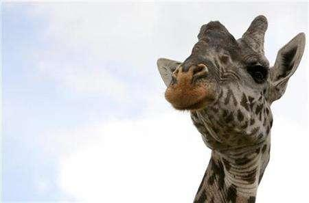 A giraffe stands at the Nairobi National Park April 19, 2007. REUTERS/Antony Njuguna