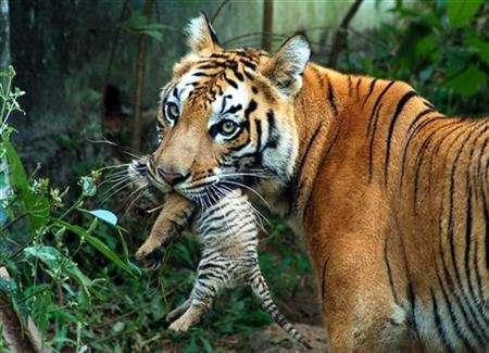A tigress carries her cub at a zoological park in the northeastern Indian city of Guwahati, October 24, 2007. REUTERS/Utpal Baruah