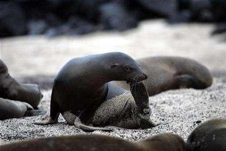 A sea lion rests on a beach in Ecuador's Galapagos islands May 1, 2007. REUTERS/Guillermo Granja