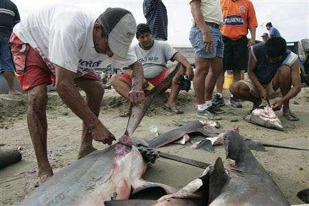 An Ecuadorean fisherman removes the fins of a shark at a beach in Manta, in this January 6, 2007 file photo. Populations of tiger, bull, dusky and other sea sharks have plummeted by more than 95 percent since the 1970s as fisherman kill the animals for their fins or when they scoop other fish from the ocean, an expert from the World Conservation Union (IUCN) said on February 17, 2008. REUTERS/Guillermo Granja/Files