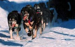 <p>I cani trainano una slitta durante la Iditarod del 1999. HB/SV</p>