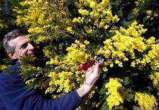 <p>Mimosa prodotta nel sud della Francia, nel gennaio scorso. REUTERS/Eric Gaillard</p>
