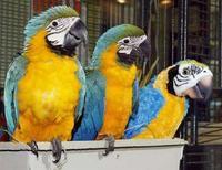<p>Alcuni pappagalli giocattolo REUTERS/Ray Stubblebine/Hasbro/Handout</p>