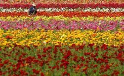 <p>Una coltivazione di fiori a Carlsbad, California 18 marzo 2008. REUTERS/Mike Blake</p>