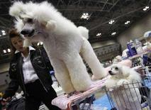 <p>Пудели на выставке собак Asian International Dog Show в Токио 30 марта 2008 года. Собаки могут заражаться птичьим гриппом непосредственно от птиц, сообщили корейские исследователи в докладе, опубликованном в журнале Emerging Infectious Diseases. (REUTERS/Toru Hanai)</p>