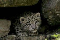 <p>Un leopardo delle nevi di sei mesi. REUTERS/Arnd Wiegmann</p>