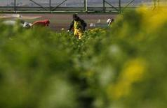 <p>Campo di broccoli della D'Arrigo Brothers Company a Salinas Valley, California. REUTERS/Darrin Zammit Lupi (Usa)</p>