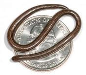 <p>Des scientifiques ont identifié le plus petit serpent au monde, un reptile de 10 cm de long aussi fin qu'un spaghetti, découvert sous une pierre sur l'île de la Barbade, dans les Caraïbes. /Photo d'archives/REUTERS/Blair Hedges-Etat de Pennsylvanie/Handout</p>