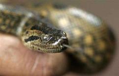 <p>Зеленая Анаконда, в возрасте 5 лет, в Национальном Зоологическом Парке в Коломбо, 16 июля 2008 года Ученые обнаружили на острове Барбадос самую маленькую в мире змею: ее длина составляет 10 сантиметров, а толщина сравнима с толщиной спагетти.REUTERS/Anuruddha Lokuhapuarachchi (SRI LANKA)</p>