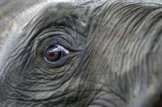 <p>En Chine, un éléphant devenu toxicomane après avoir été nourri de bananes contenant de l'héroïne va retrouver la liberté après trois ans passés en cure de désintoxication. /Photo d'archives/REUTERS</p>
