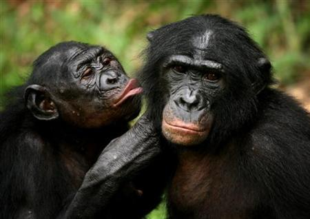 Bonobo apes, primates unique to Congo and humankind's closest relative, groom one another at a sanctuary just outside the capital Kinshasa, October 31, 2006. REUTERS/Finbarr O'Reilly