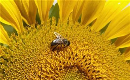 A bee collects nectar from a sunflower in Zurich August 14, 2008. REUTERS/Arnd Wiegmann
