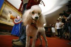 <p>Callie, un classico barboncino, ad un evento a New York nell'agosto 2008. L'American Kennel Club ha promosso un sondaggio popolare che ha votato il barboncino come razza preferita per la famiglia Obama. REUTERS/Brendan McDermid</p>
